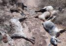 احتمال بروز بیماری شاربن در مناطق سیل زده ریگان/تلف شدن بیش از هزار رأس گوسفند در سیلاب اخیر