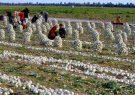 ۳ برابر شدن سطح زیرکشت پیاز دلیل متضرر شدن کشاورزان/ انفعال وزارت خارجه و صمت در صادرات محصولات کشاورزی جنوب کرمان