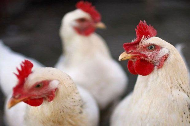 توقیف کامیونت حامل مرغ قاچاق در بم